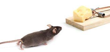 Mẹo để loại trừ chuột nhắt theo cách tự nhiên